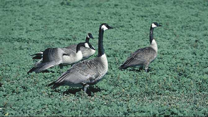 2---Geese-Management