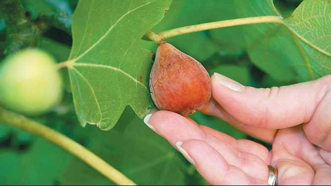 Figs-on-tree-N0621620