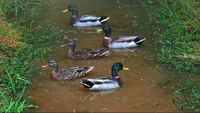 ducks1sm