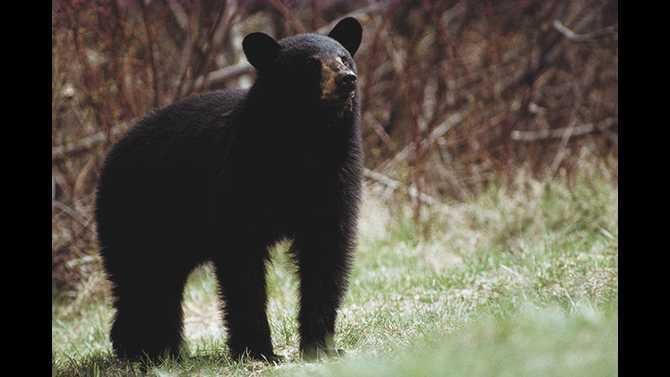 black-bear courtesy-of-DNR