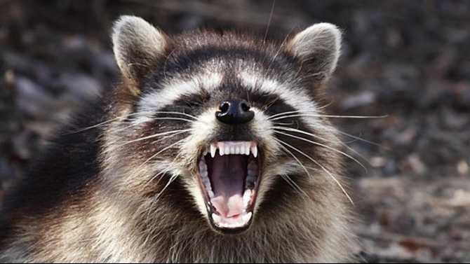 Rabid Raccoons