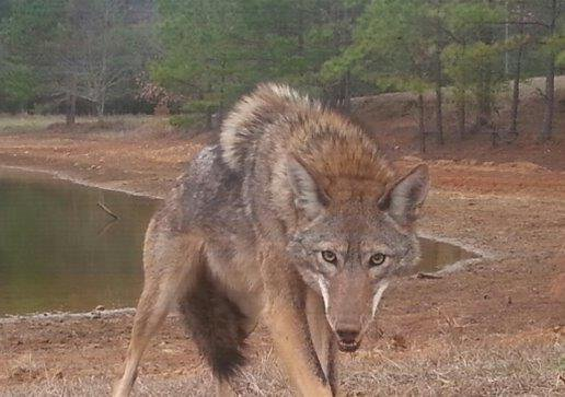 It's time for the Georgia Coyote Challenge; participate to earn a chance to win