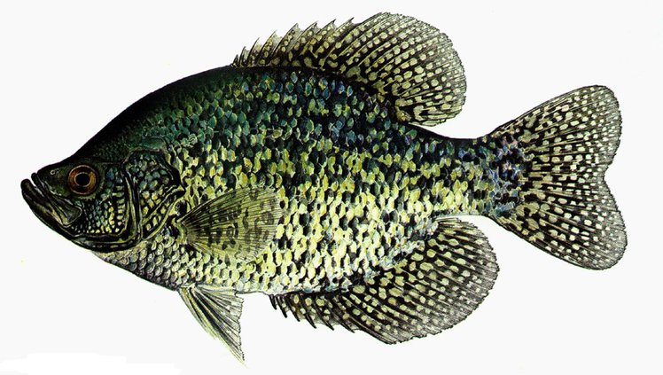 February is a prime time to fish for crappie