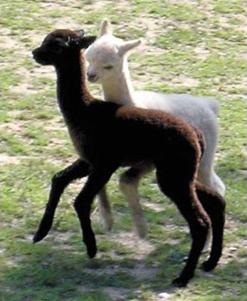 Alpaca-babies-Imported-092