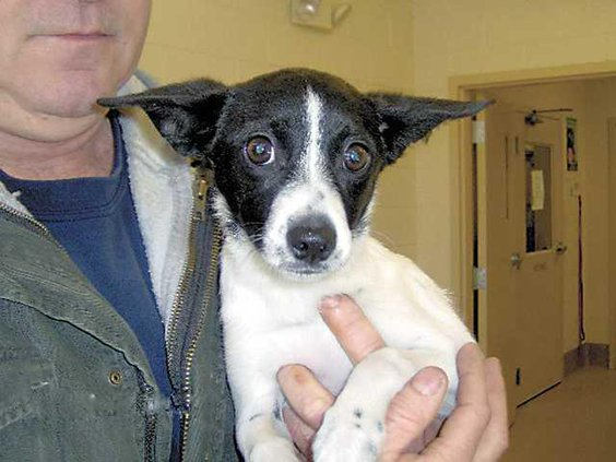 POTW-rat-terrier-HPIM0925