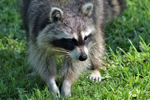 raccoon-looking-for-food.jpg