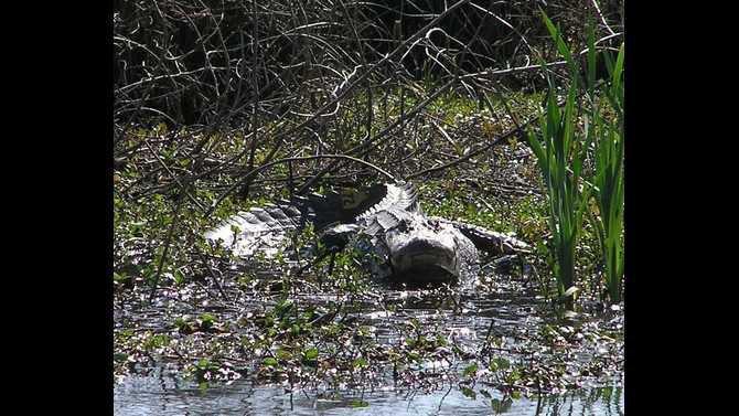 alligator 20080716016