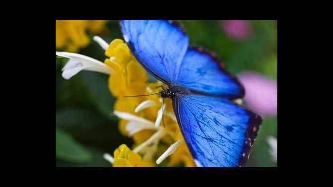 11963358-blue-morpho-butterflies-at-callaway-gardens